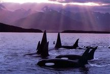 Orca's / My favorite animal!