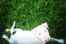 Bullterrier puppy
