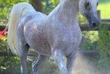 Arabes ( chevaux )❤️