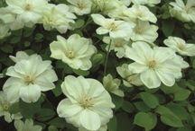 Blommor till rabatten längs gången / I sommar är det dags att mura färdigt den sista rabatten som ligger längs med skiffergången