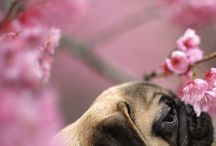 ❤️pugs / Pugs pictures for good mood❤️