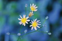 Flowers of the field. / Ordinary, simple, they are sincere and beautiful.