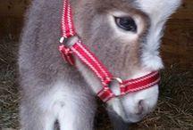 Donkeys/Donkies