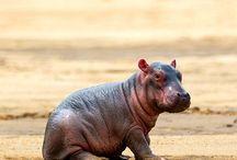 Hippo fabulous