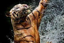 Tigers' world