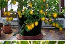 To grow lemon tree from seed