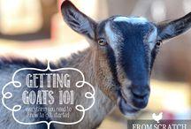 Urban Farm - All Things Goats / by Rayne Beaux