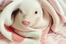 Piggies / Schattig