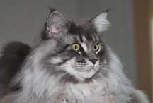Maine Coon - Blue Silver Blotched / #MaineCoon #BlueSilver #blue #Silver  #Blotched #Cats