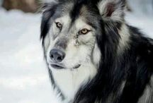 Wolf hybrid doggos