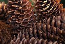 Nature   ( Pine cones and nuts )