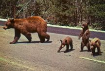 Bears oh my! / Running into bears in the great woods of the United States, luckily I haven't had to use my KA-Bar yet.