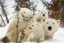 Reino animal de los osos polares