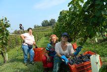 Harvest at VIlla Fiorita / Follow the harvest of 2014 here at Villa Fiorita