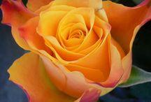 ROSA / ROSE / Disfrutar la belleza de una de las flores más hermoza.