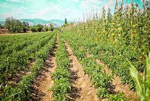 İzmir'in sebze deposu Bayındır Karaveliler Mahallesi