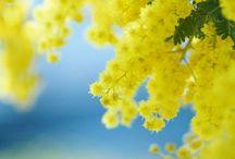 ミモザのお花