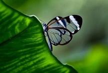 Butterflies  @ Gazuntai.com