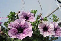 Petuniat