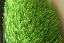 Weathgrass