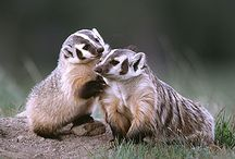 BADGERS / by Laura Hunt