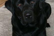 Black Labradors & our beloved Kira