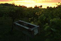 Vineyard Sunsets