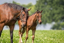 Awesome Again Foal | Champions of Tomorrow / by HorseRaceGame.com