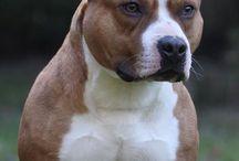 merveilleux chiens mal aimés à tort faute à leurs mauvais maîtres !!
