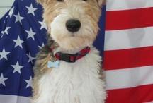 Dex! Wire fox terrier !