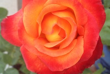 Flowers I Raised / Flowers  / by Maurice DeFino