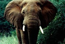 Elephants / The gentle giants known as elephants