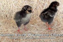 Golden Laced Wyandotte / www.chickensforbackyards.com