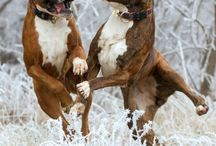 Boxers / Images of boxer dogs