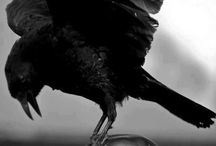 Matter of a pinion / Ravens and Crows