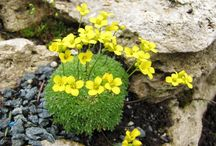 Alpine Perennials and succulents / Hardy perennials in cold, rocky alpine areas.