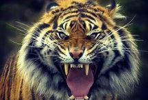 E'molto inferocita la tigre