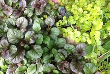 Shady Plants with Flair / Here are some great  full to part shade lovers.