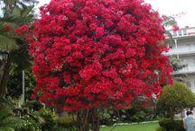 copaci florali