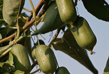 Trädgård: Fruktträd o Bärbuskar