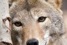 I Love.... Wolves!