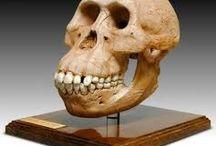 La historia de la evolución hominida  / Trabajo realizado por  Ángela Arjona Roldán, Lorena Ortiz Olivares y Antonio José Oteros Fernández. 1ºC Bachillerato.