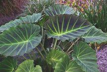 Colocasia 'Imperial Gigante'