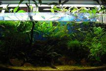 trichogaster aquarium