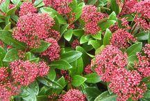 Arbre a fleurs persistant