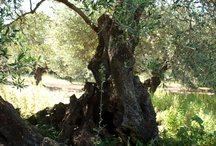Olives trees, olive oils and soaps