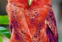 Exotik owl
