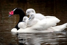 Ducks, Geese and Swans / by Candie Vaughan