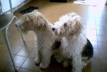 Fox Terrier / Bichos