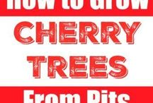 grow cherries from pips